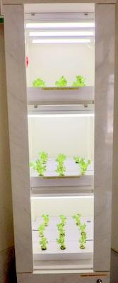 水耕栽培のサニーレタス