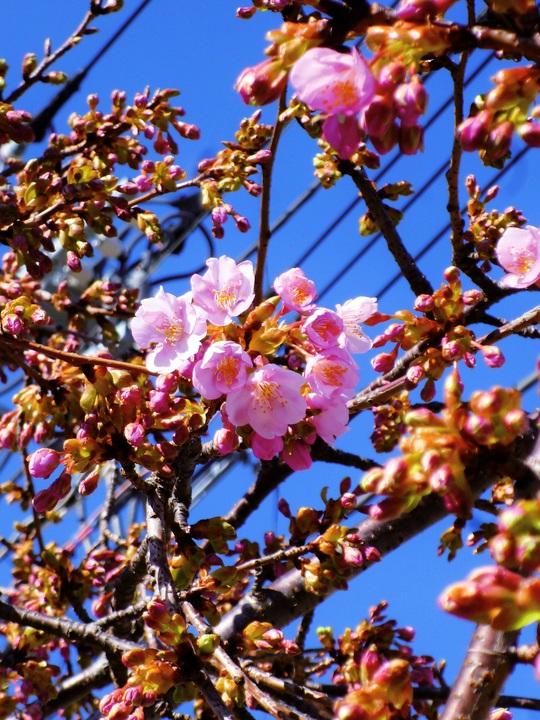 さくら広場の河津桜
