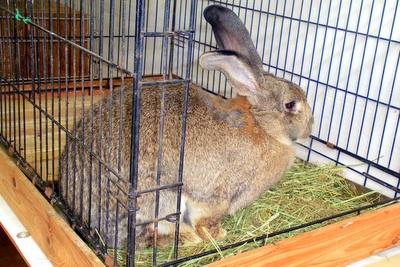"""体長1メートルの """"巨大ウサギ"""""""