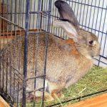 """交通公園で展示 体長1メートルの """"巨大ウサギ"""""""