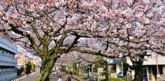 浦安点描:例年より1週間早い満開の桜