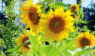 幸せのひまわり 咲き競う