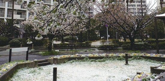 浦安に「春の雪」が舞う