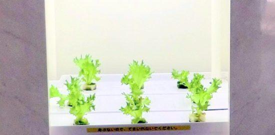 """入船中教室に """"土のない畑""""「植物工場」9月 誕生"""