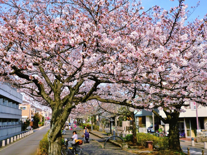 例年より1週間早い満開の桜