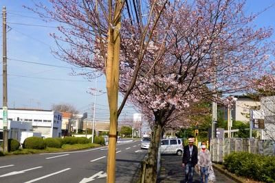 ソメイヨシノの若木