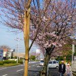 桜を市民に愛でて ソメイヨシノ植替え