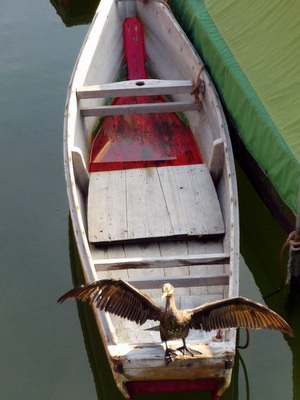 カワ鵜が羽を天日干し