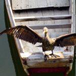 カワ鵜が羽を天日干し ~「うらやす情報」の軌跡