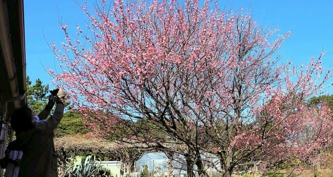 青く晴れた空に紅梅が満開 弁天ふれあいの森公園