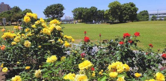 明海の丘公園・バラ園