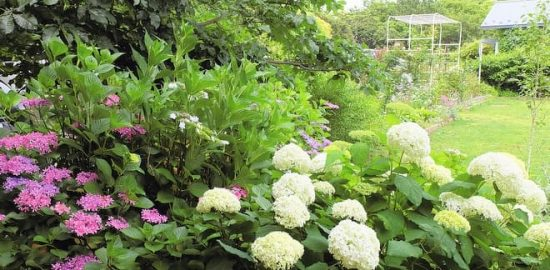 弁天ふれあいの森公園 美しいアジサイの花